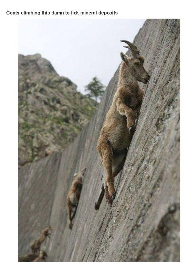 dam climbing goats
