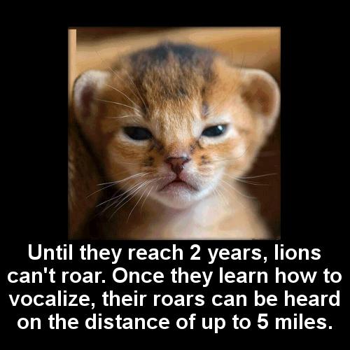 lion baby roars