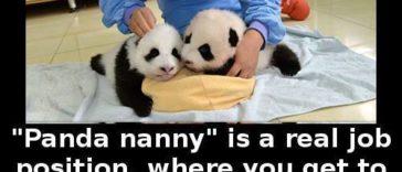 panda-nanny