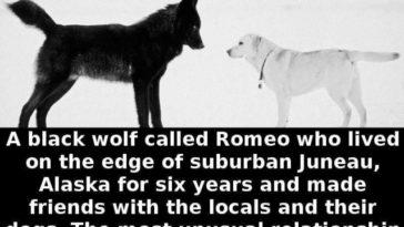 Juneau wolf